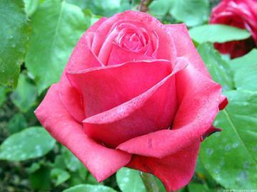 Rosas para la Memoria